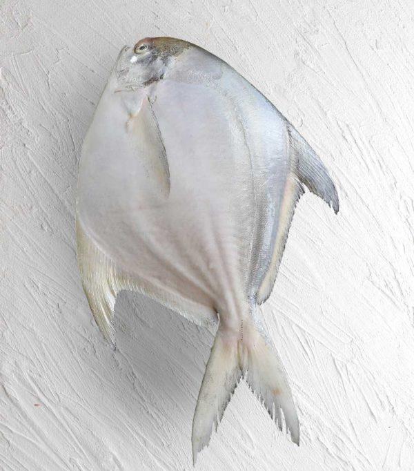خرید ماهی حلوا سفید