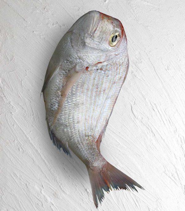 خرید ماهی شانک صورتی