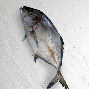 خرید ماهی مقوا تازه