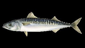 ماهی مضر