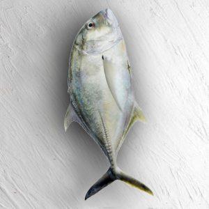 ماهی جش سفید